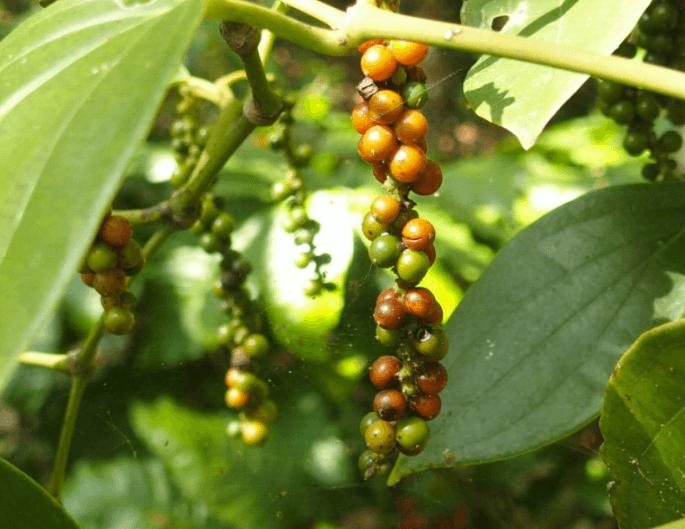 Indonésie - découverte du poivre de lampong
