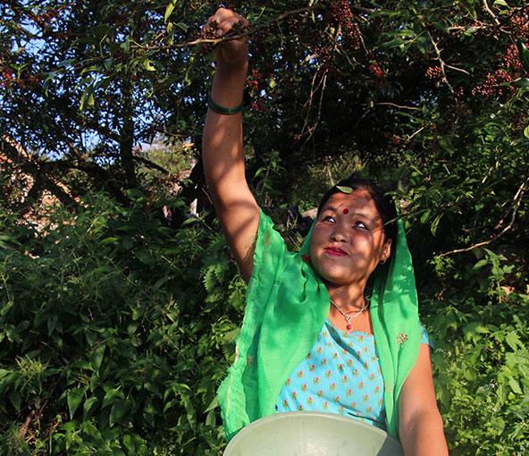 Népal : Récolte baie de timur